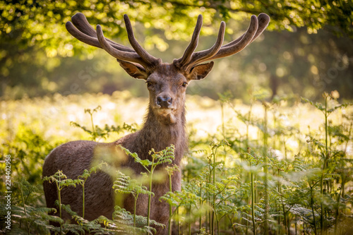 Fotobehang Hert deer in the forest