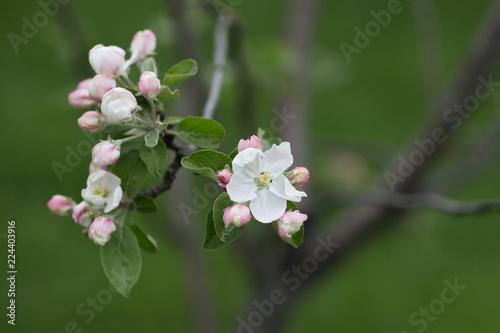 Staande foto Lente tender pink flowers of apple, spring
