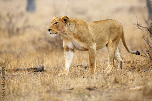 Foto op Plexiglas Leeuw The Southern lion (Panthera leo melanochaita) also as the East-Southern African lion or Eastern-Southern African lion or Panthera leo kruegeri. The adult lioness is creeping to the prey.