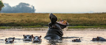 Yawning Common Hippopotamus In The Water At Sunset. Common Hippopotamus Or Hippo Showing Threat Display. Scientific Name:  Hippopotamus Amphibius.  Africa