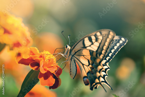 Recess Fitting Butterfly Beautiful bright tropical butterfly sitting on a marigold flower