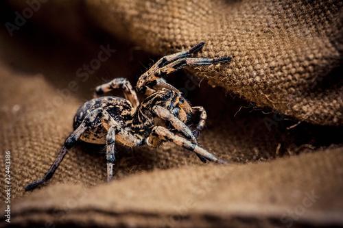 Photo Wolf spider on tissue, паук волк на ткани