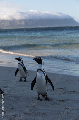 group of penguins in africa