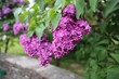 Flowering fragrant beautiful Lilac in the botanical garden in the spring