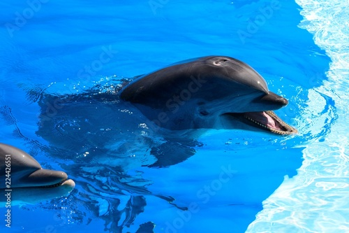 Close up of a dolphin at a dolphin show Canvas Print