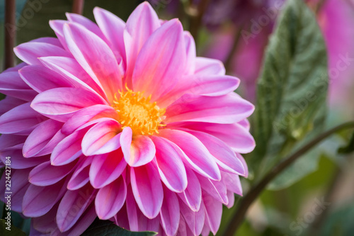 Bright pink dahlia in the garden, macro