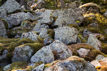 Large Stones Covered With Moss At Sunny Day. Natural Moss On Stones In Pine Forest.