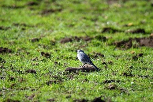 Fotografie, Obraz  Kleiner Vogel auf der Wiese