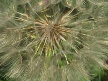 Seed Head Of Meadow Salsify