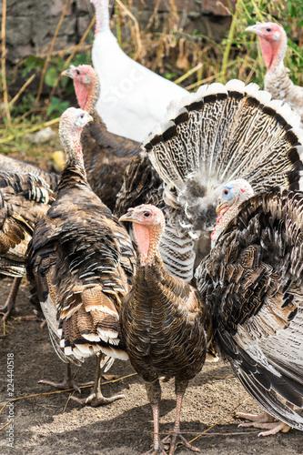 Fényképezés  Photo of turkeys on a home farm.