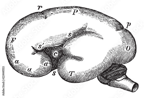 Fényképezés  Fetal Brain at Six Months, vintage illustration.