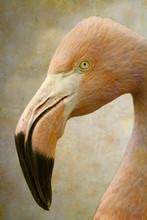 American Flamingo Portrait On ...