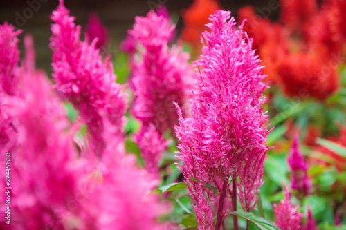Poster Rose ิbright vivid pink Celosia Plumosa flower, commonly known as the plumed cockscomb or silver cock's comb. It is a herbaceous plant of tropical origin. The leaves and flowers are edible when boiled.
