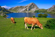 Enol Lake At Picos De Europa I...