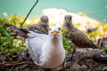 Seagull Mom Protecting Her Two Chicks Parenting