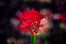 Flowers That Hasten Fall...Red...