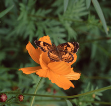 Silvery Checkerspot Butterfly (Chlosyne Nycteis)