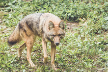 Coyote (Canis Latrans) Peers T...