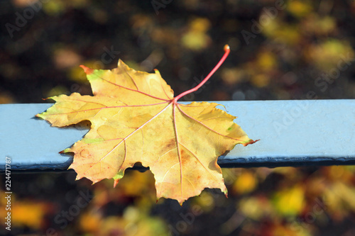 Fotografía  Fallen autumn yellow maple leaf with a blurred background.