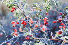 Red Rosehip Berries With Snow. A Wild Rose Shrub With Frost And A Blue Sky In The Background. First Frost In Autumn. Hoarfrost On Dogrose Branches Fna Leaves.