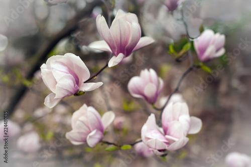 Close Up View Of Pink Blooming Magnolia Beautiful Spring Bloom For