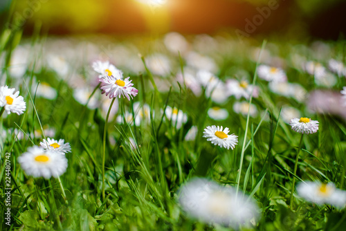 In de dag Madeliefjes White small daisies blooming on grass background