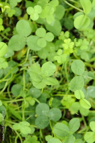 Photographie  幸運の四つ葉のクローバー