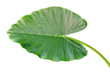 Big Green Leaf Of Elephant Ear Plant Isolated On White Background