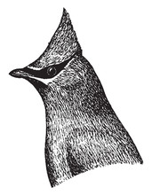 Cedar Waxwing, Vintage Illustration.