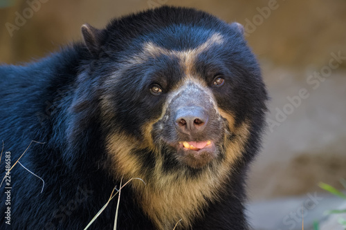 Closeup portrait of an andean bear Canvas Print
