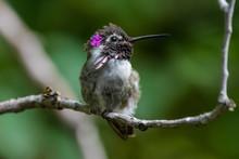 Male Costa's Hummingbird Sitting On A Branch