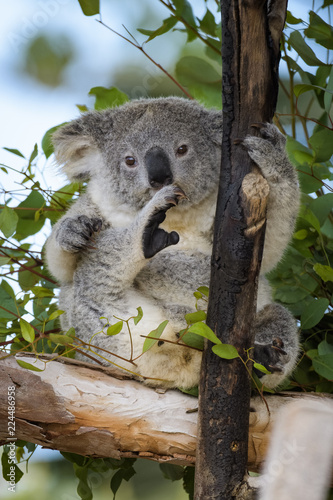 Poster Koala Young koala bear sitting in a tree