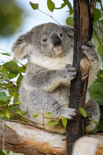 Staande foto Koala Young koala bear sitting in a tree
