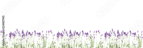 Flowers composition. Frame made of fresh lavender flowers on white background. Lavender, floral background. Flat lay, top view, copy space, banner  - 224487945