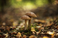Leccinum Scabrum, Commonly Kno...