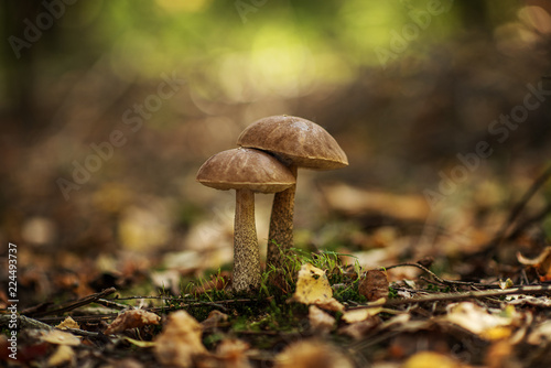 Stampa su Tela Leccinum scabrum, commonly known as the rough-stemmed bolete, scaber stalk, and