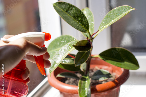 watering potted ficus on a windowsill with an open window with summer city view covered with water drops