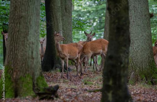 Deurstickers Hert Red Deer in fall Germany