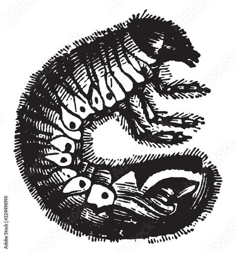 Fotografía  Larva of the Cockchafer, vintage illustration.