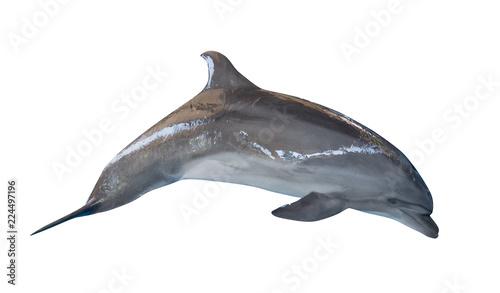 isolated on white grey bottlenose dolphin
