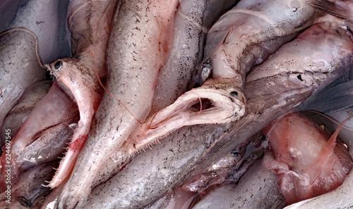Tiefsee Monster, Pelikan Aal,