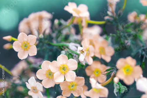 Foto op Plexiglas Lente Creative background, small flowers on a tinted, gentle background in the open air. Spring summer, border pattern floral background. Air artistic image, free space. The nature of the concept.