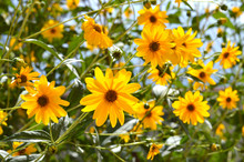 Close-up Of Jerusalem Artichoke Flowers, Sunroot, Nature, Macro