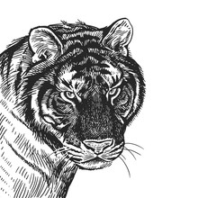 Realistic Portrait Of African Animal Tiger. Vintage Engraving. Black And White Hand Drawing. Vector