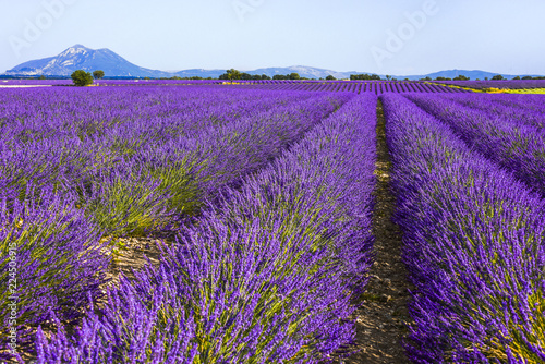 Fotobehang Snoeien huge lavender fields to the horizon in the region around Valensole, Provence, France