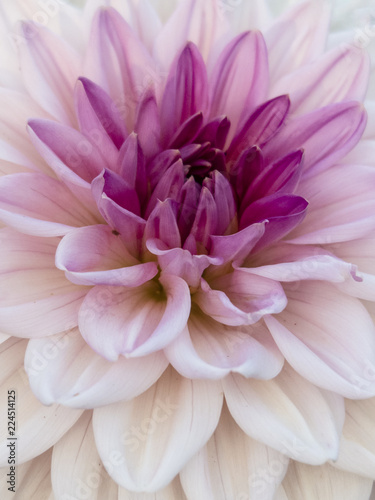 Closeup of Pink and White Dahlia