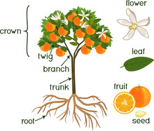 Parts Of Plant. Morphology Of Orange Tree With Fruits, Flowers, Green Leaves And Root System Isolated On White Background