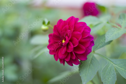 Garden Poster Pink Burgundy crimson Dahlia flower on a blurred green background in the garden.