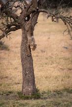 Cheetah Cub Climbing Down Tree In Grassland