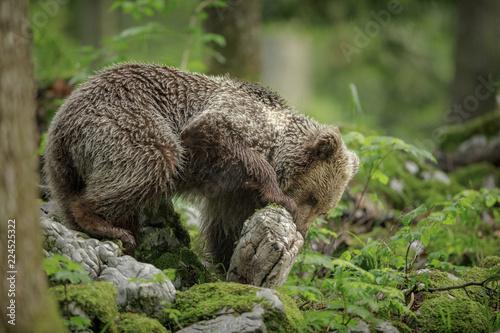 Foraging brown bear
